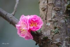 幹咲きの紅梅