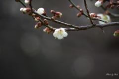 咲き始めの頃