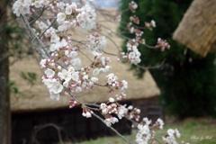 合掌の里にも桜咲く