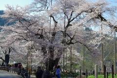 2018 荘川桜
