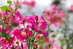 秋薔薇:陽射しに照らされ