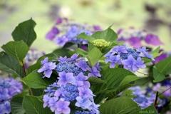 紫陽花模様