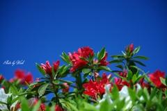 青空と赤いツツジ