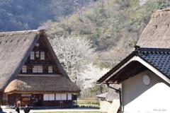春の便り:菅沼集落