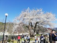 2019年 荘川桜