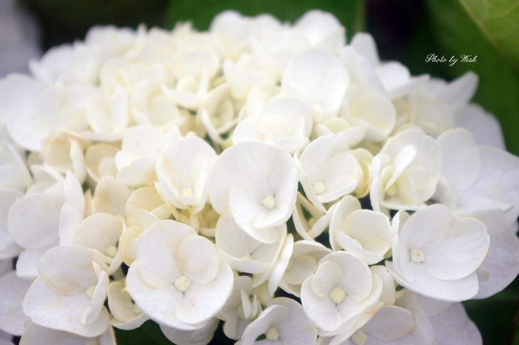 白色紫陽花