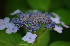 6月初旬の紫陽花