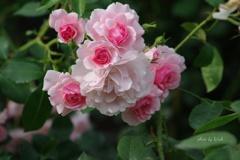 ツルバラ ピンク色