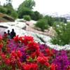 ツツジが咲く丘