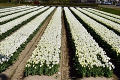 白いチューリップ畑