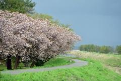 八重桜並木歩道