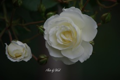5月の薔薇