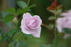 秋薔薇:ブルーバユー