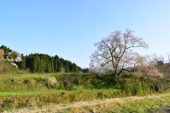 散り終えるエドヒガンザクラ:向野の桜