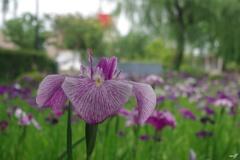 砺波チューリップ公園内の花菖蒲園