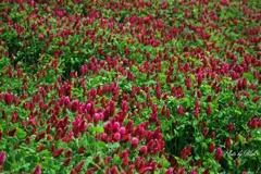 大地の紅色絨毯