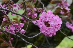 風に揺れる八重桜