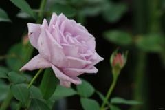 秋薔薇:薄紫の色