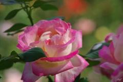 10月の秋薔薇