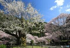 こっちの桜もきれいだヨ