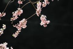 春谷寺の桜