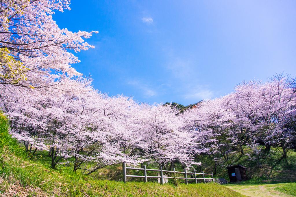 桜日和2021