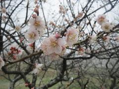 梅の開花 ①