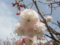 福岡の桜 ③