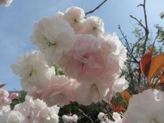 福岡の桜 ⑤