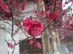 梅の開花 ⑤