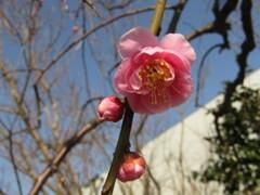 梅の開花 ③