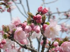 福岡城の桜 ⑧