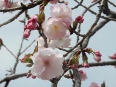 福岡城の桜 ⑦