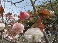 福岡の桜 ②