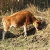 牛の放牧 ②