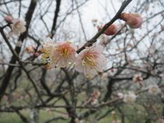 梅の開花 ②