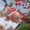 福岡の桜 ⑥
