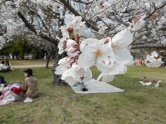 福岡城の桜 ②