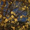 梅の開花④