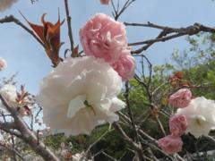 福岡の桜 ④