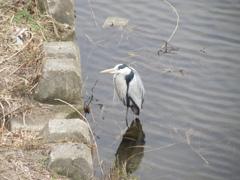 川にたたずむサギ