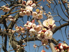 梅の開花 ④