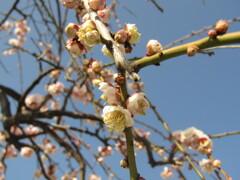 梅の開花 ⑥