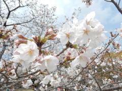 福岡城の桜 ①