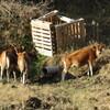 牛の放牧 ①