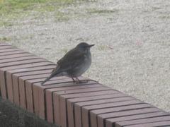 丸っこい小鳥さん