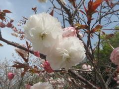 福岡の桜 ①