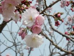 福岡城の桜 ⑥