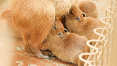 カピバラ 四つ子の赤ちゃん