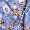 2分咲きのソメイヨシノ